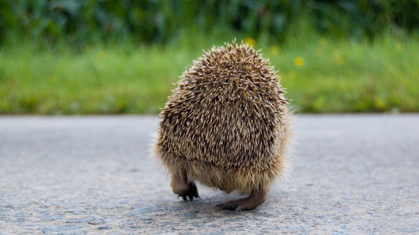 hedgehogs-eat-drink