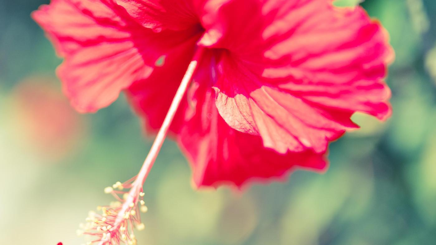 hibiscus-poisonous