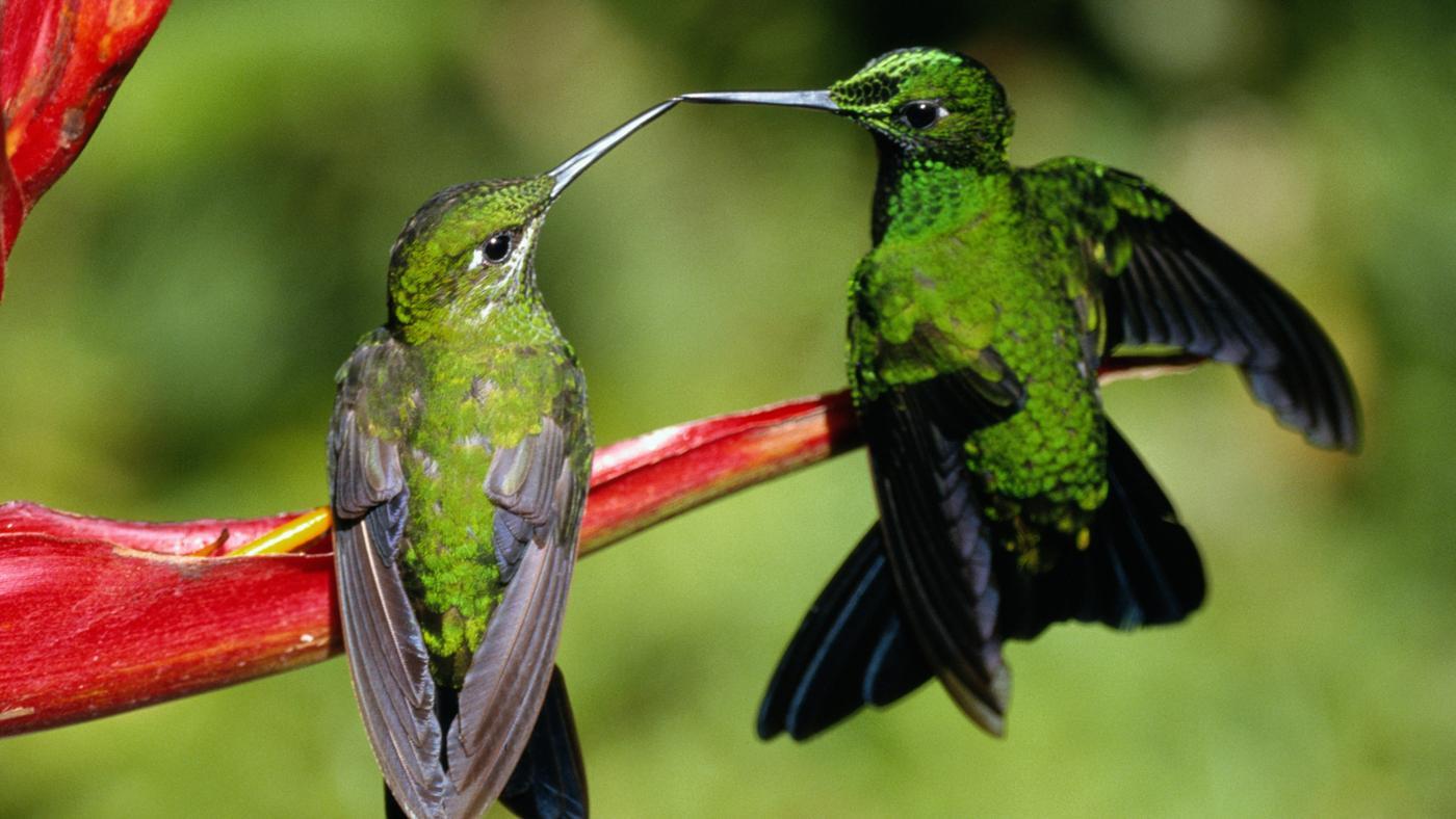 hummingbirds-reproduce