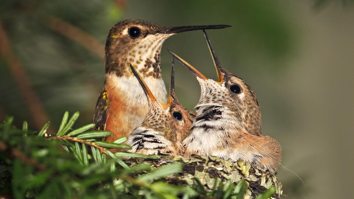 long-hummingbirds-live
