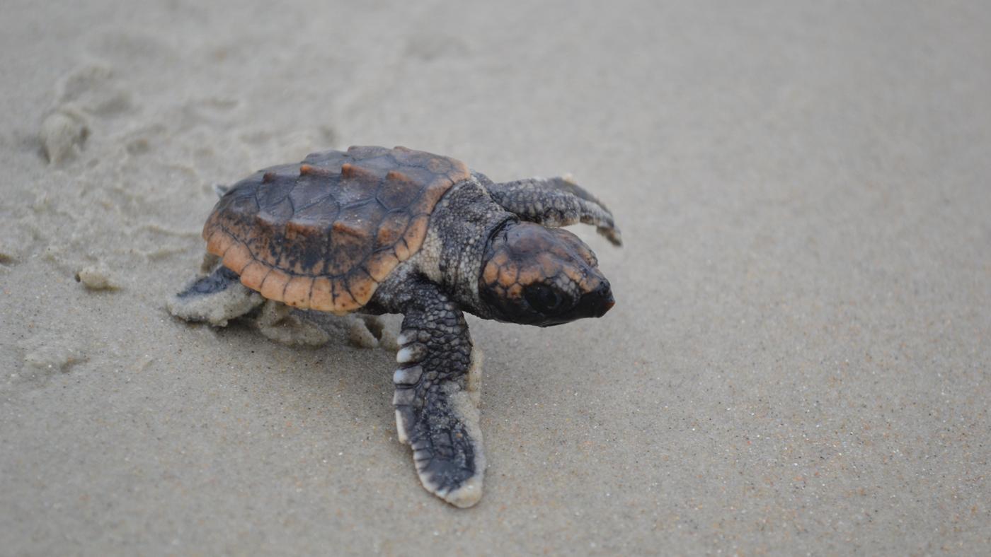 long-turtle-eggs-hatch