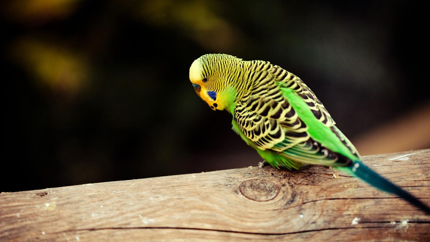 long-parakeet-live