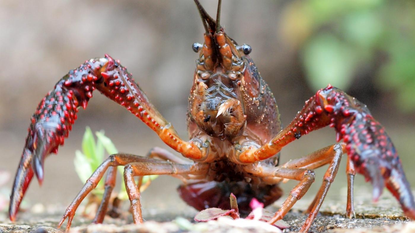 many-legs-crayfish