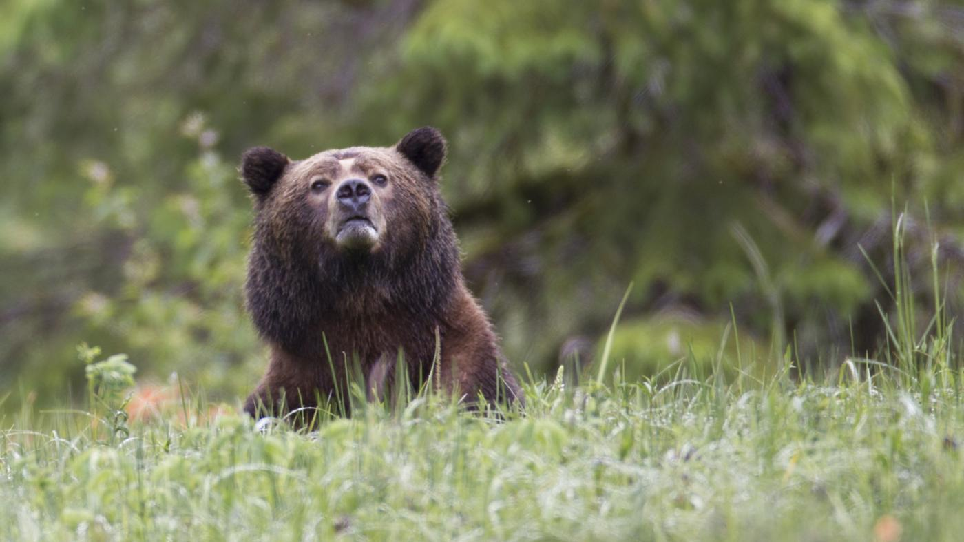 tall-grizzly-bear
