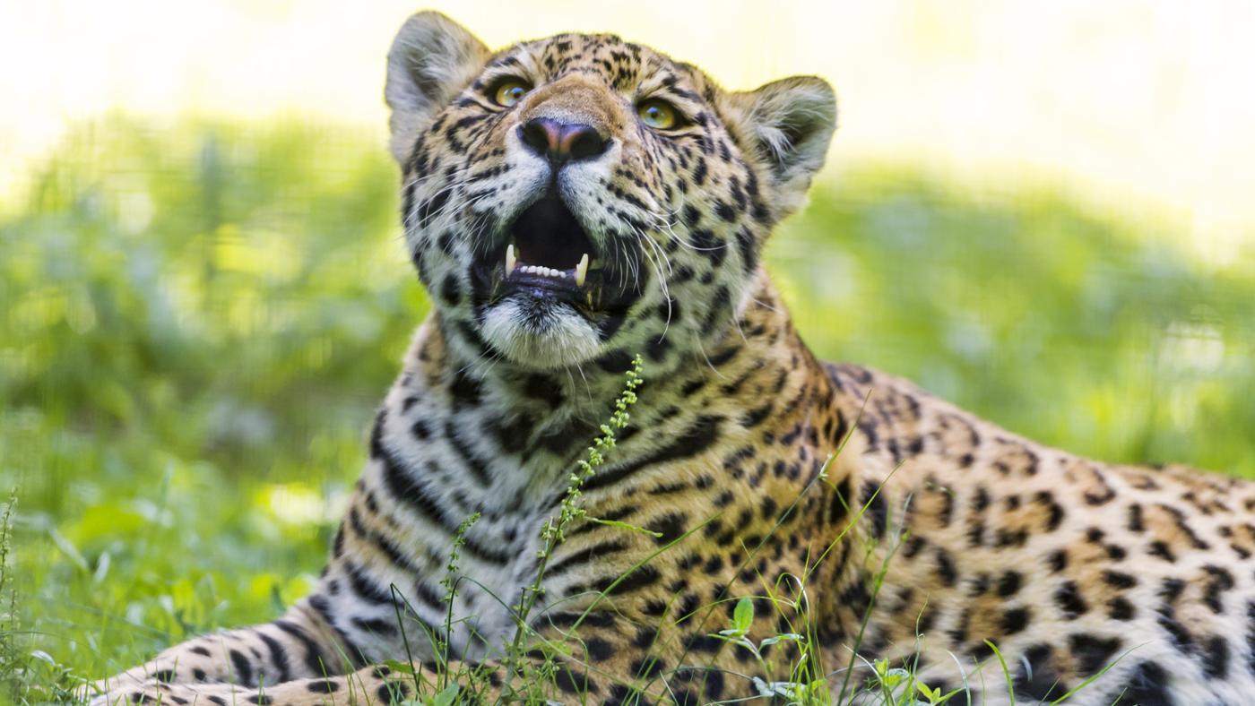 jaguar-endangered