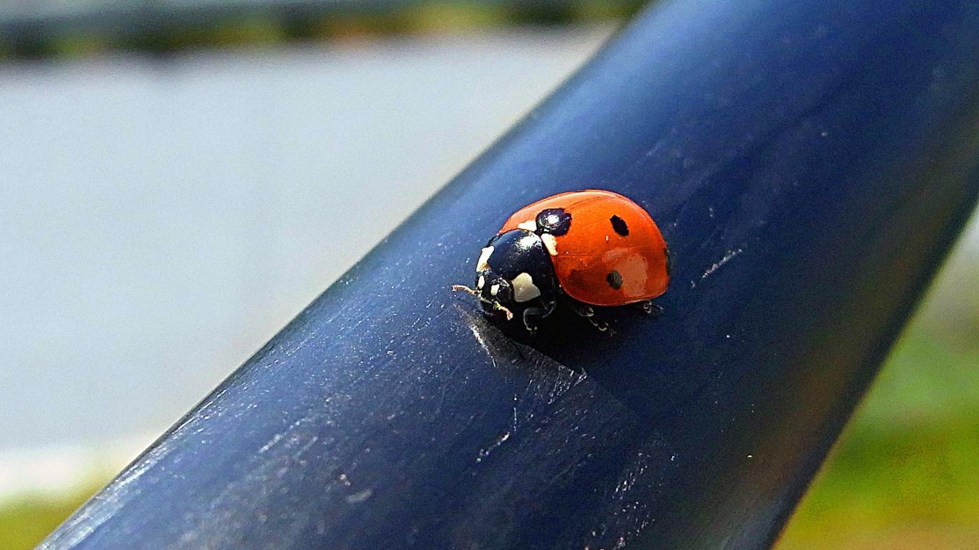 kinds-ladybugs-poisonous