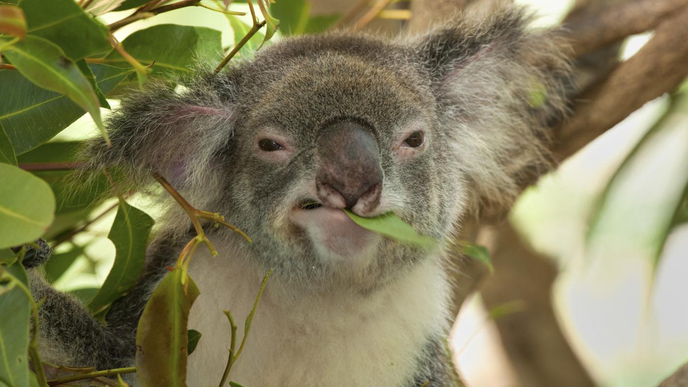 koala-eat
