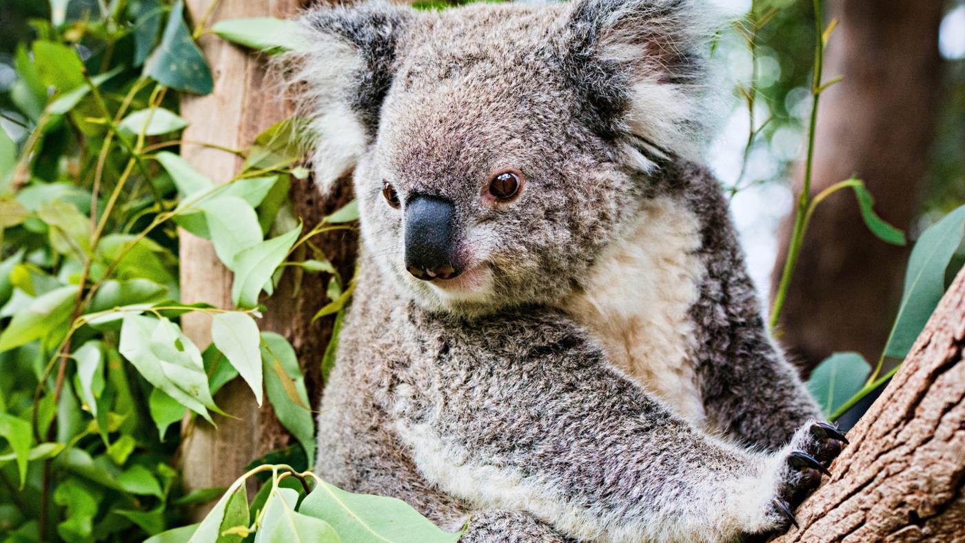 koalas-endangered