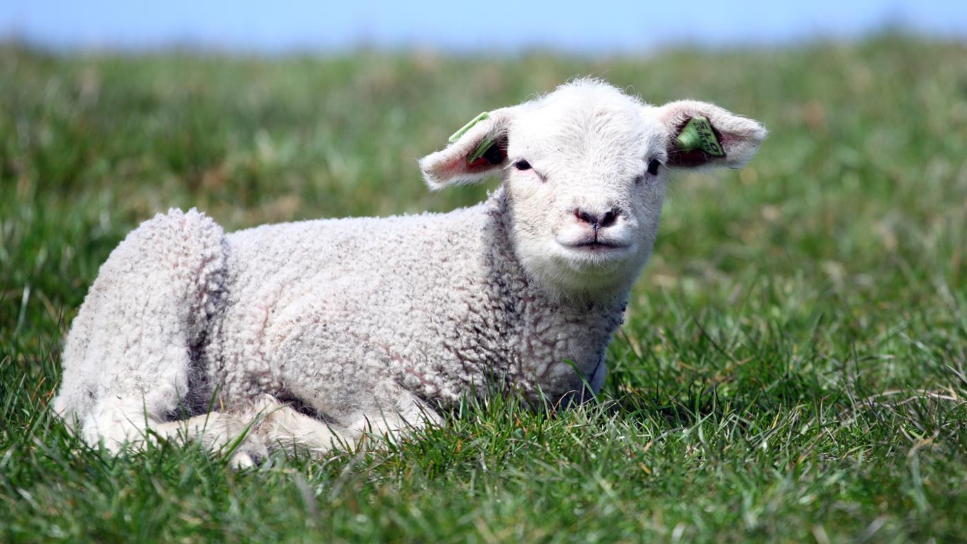 lamb-symbolize