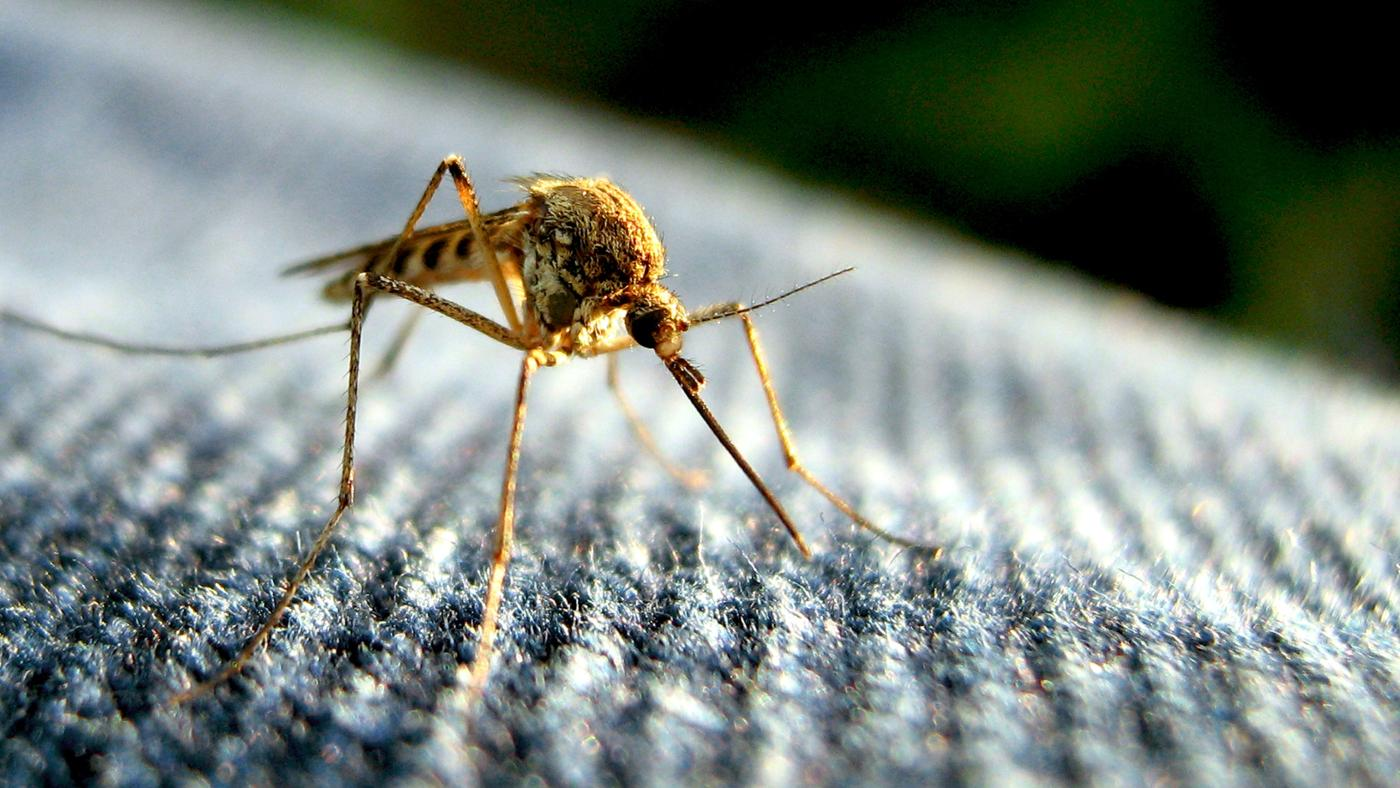 life-span-mosquito