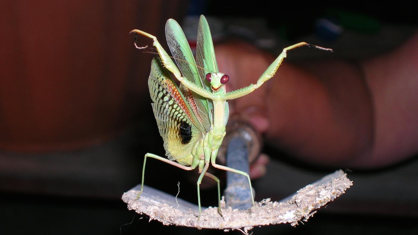 life-span-praying-mantis