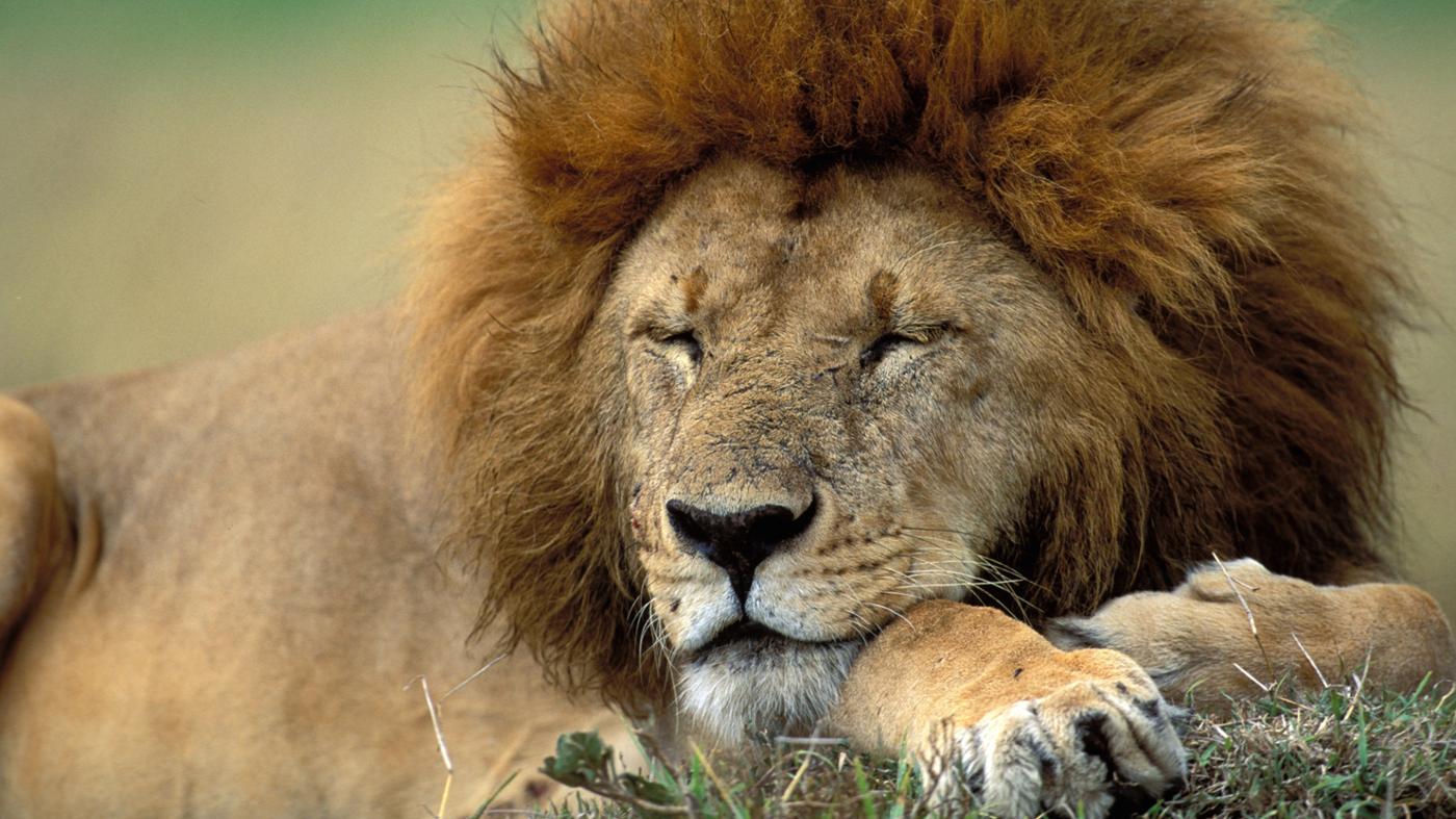 lion-s-natural-habitat