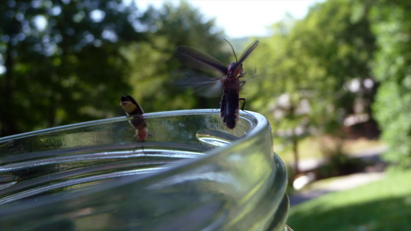 long-fireflies-live