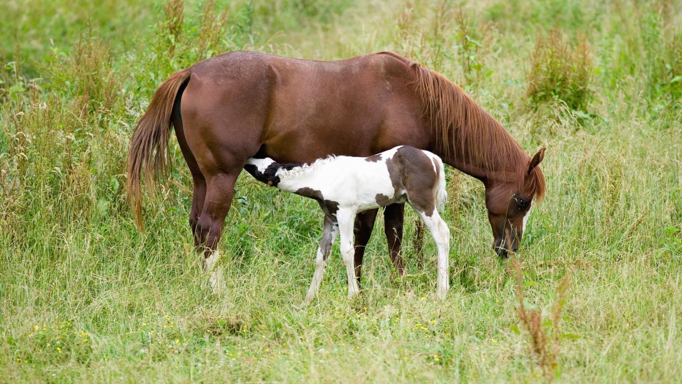 long-gestation-period-horses