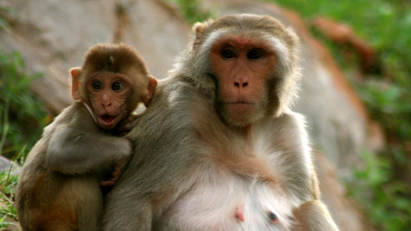 long-monkey-live