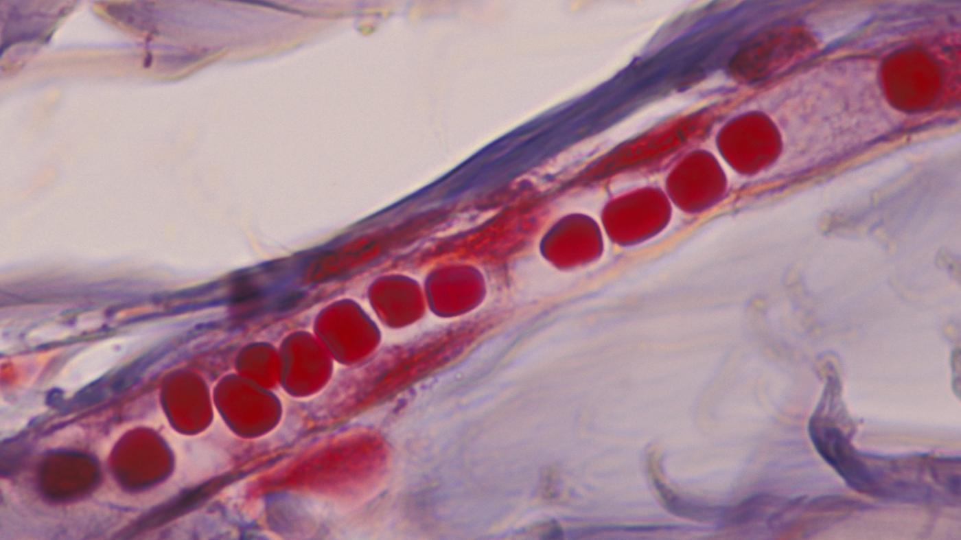 main-function-capillaries