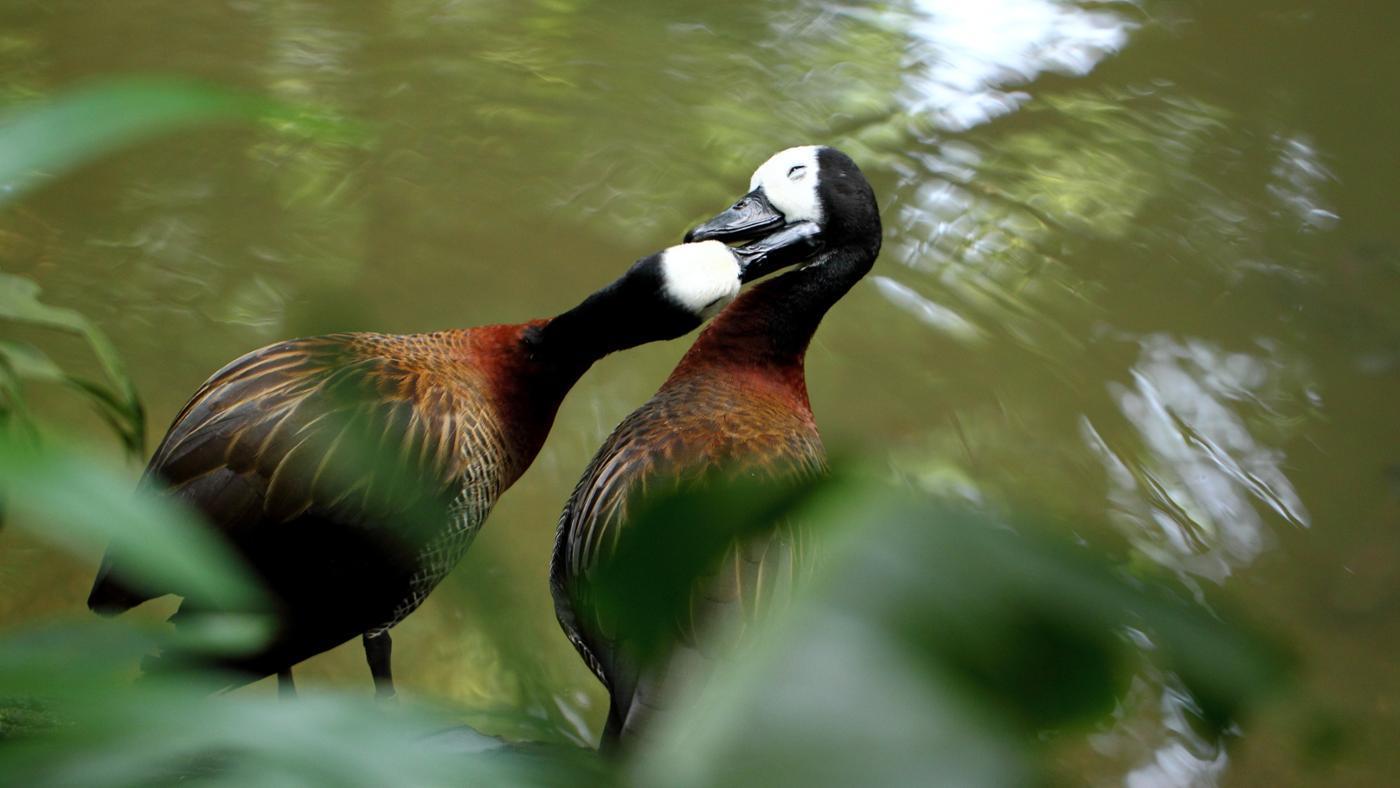 male-ducks-fertilize-eggs