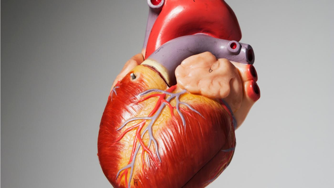 many-chambers-human-heart