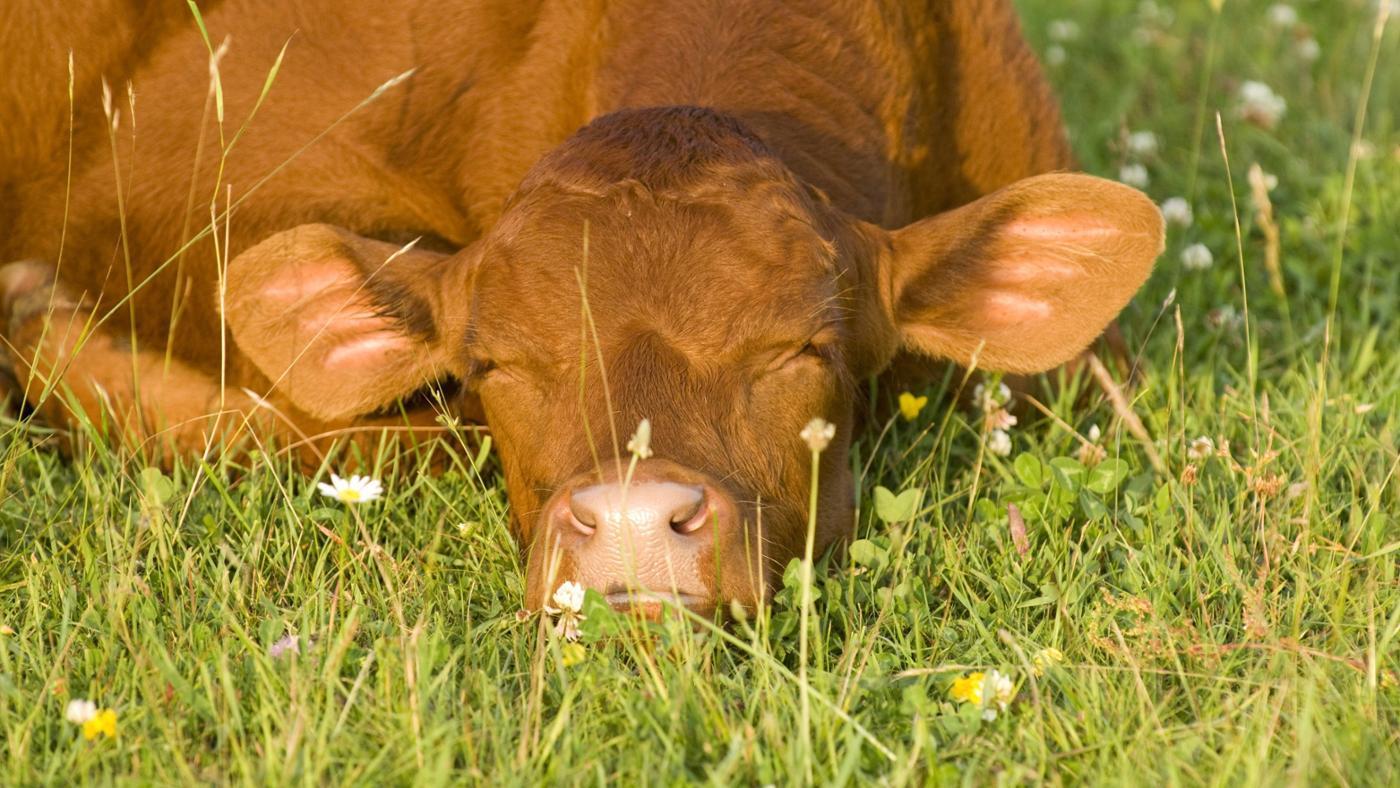 many-hours-day-cows-sleep