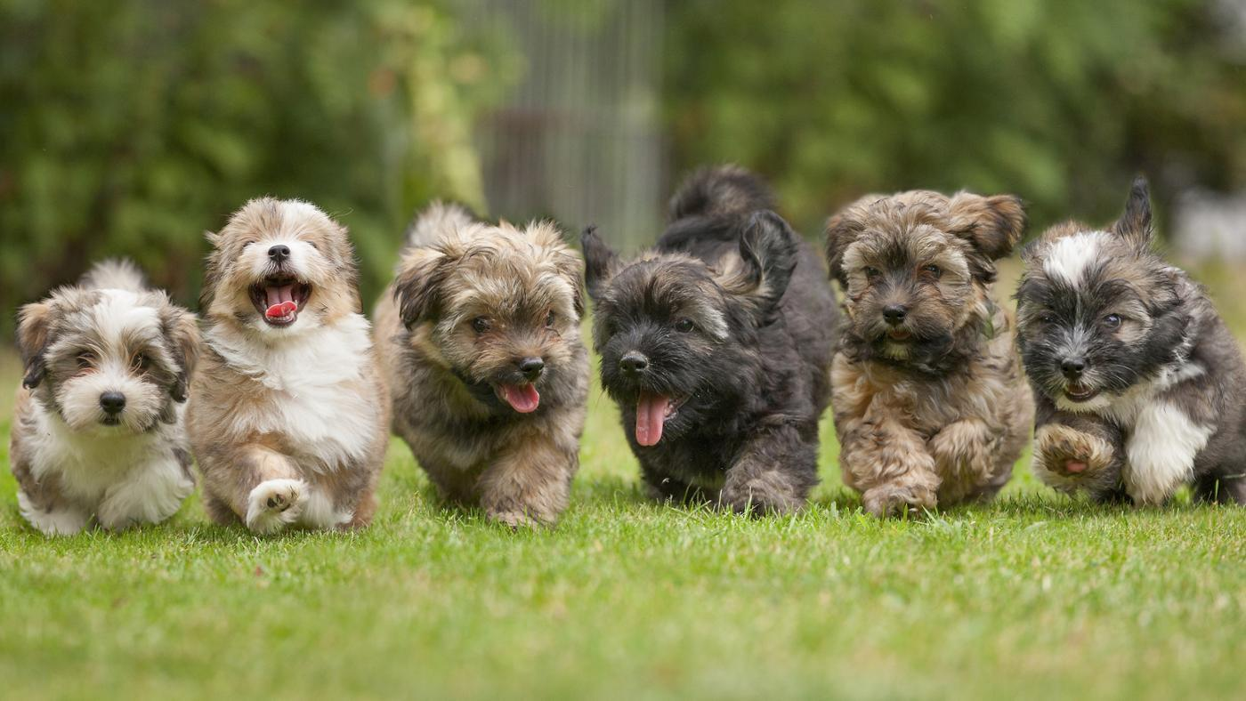 many-puppies-can-dog-give-birth