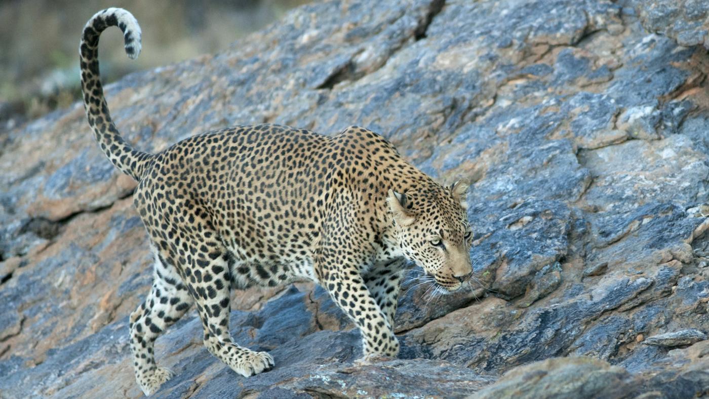 maximum-speed-leopard