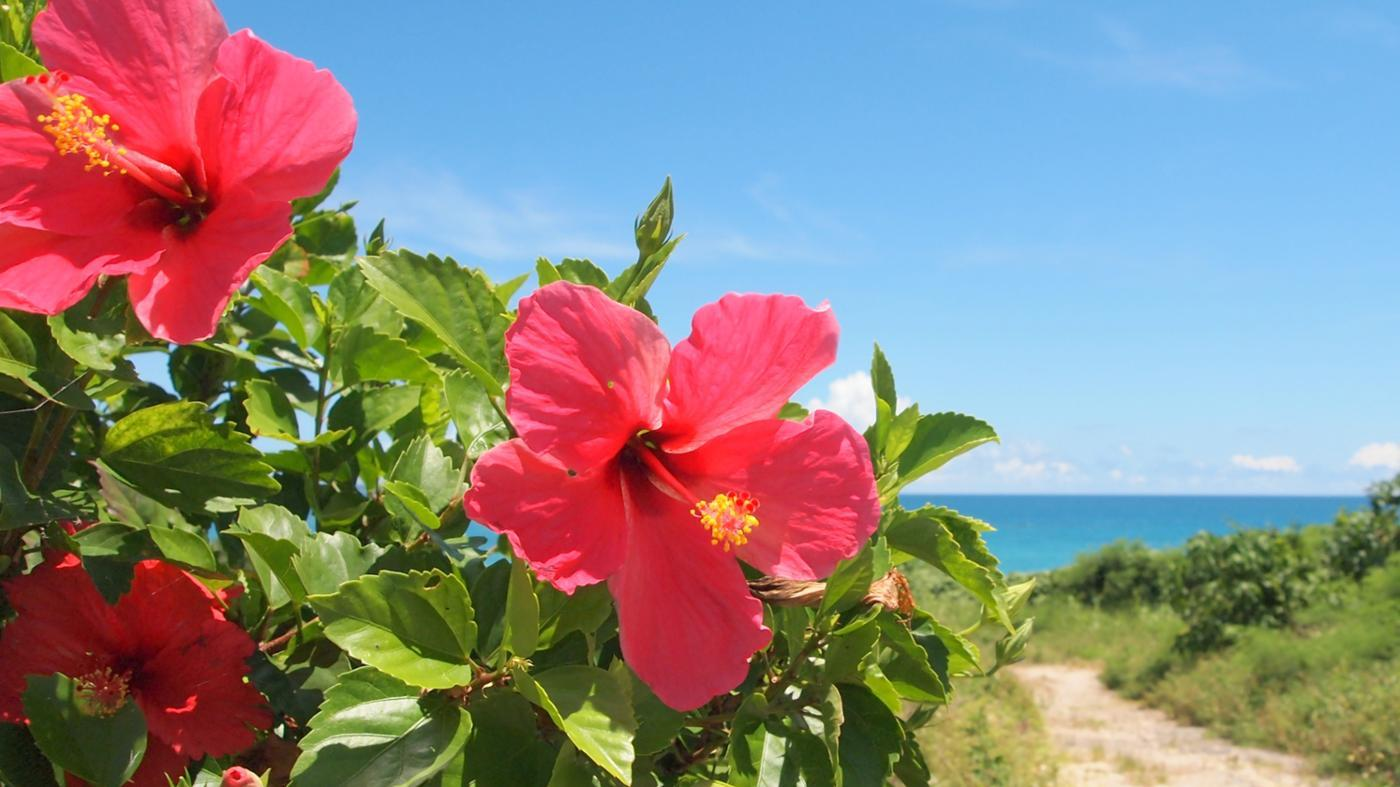 meaning-hibiscus-flowers