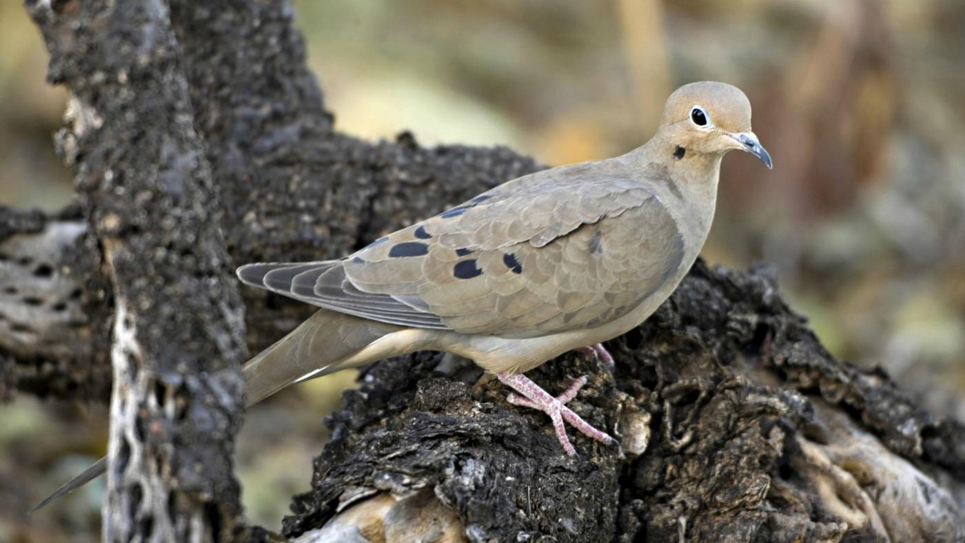 mourning-doves-eat