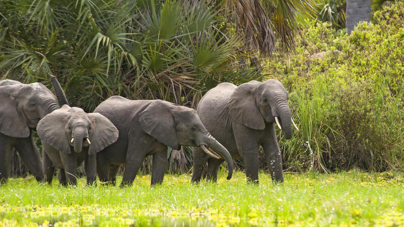 much-average-african-elephant-weigh