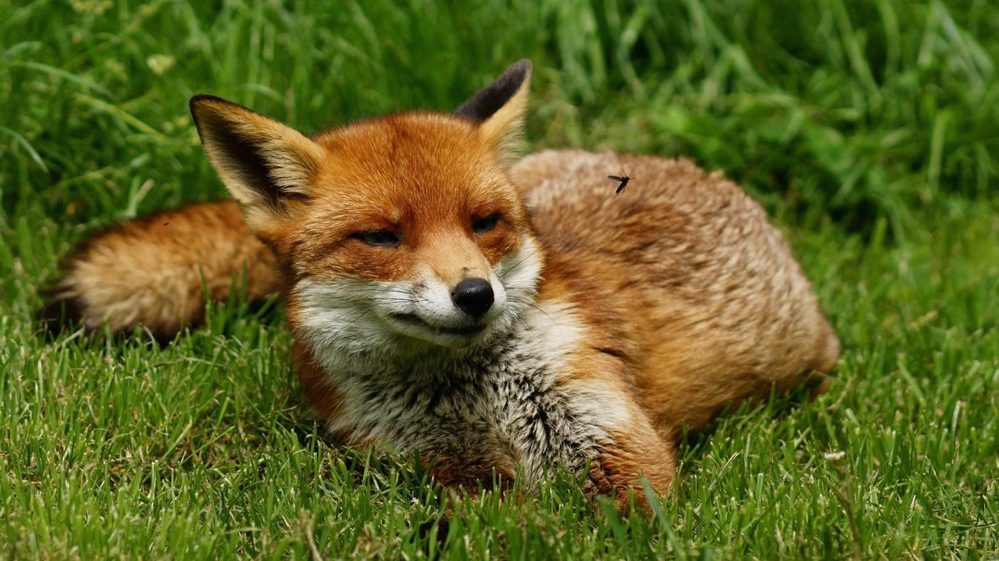 name-female-fox