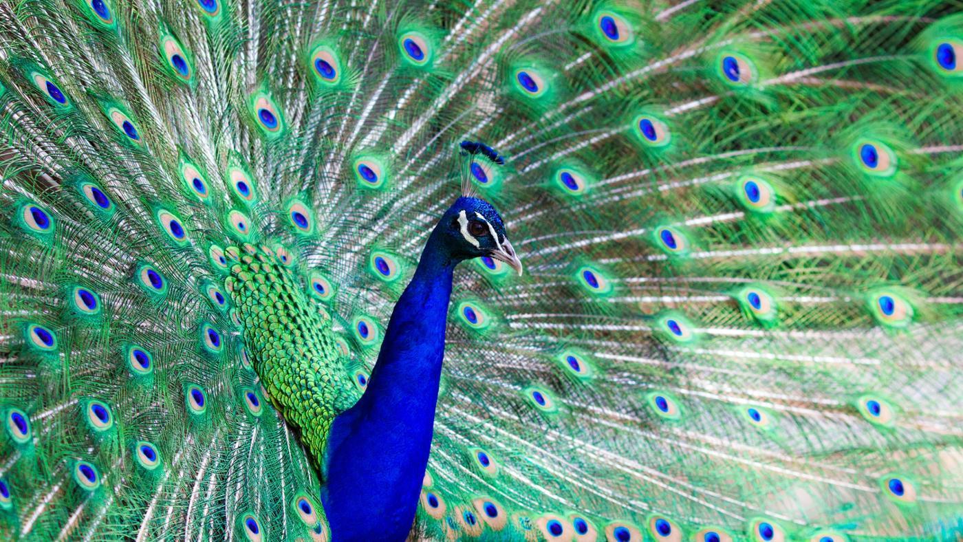 peacock-adaptations