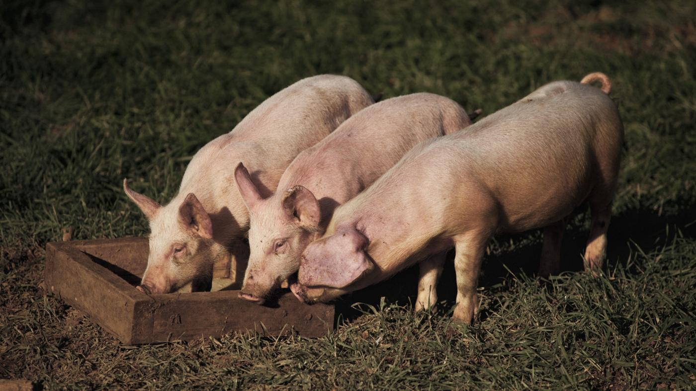 pigs-eat