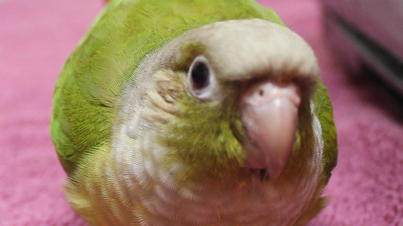 pineapple-conure