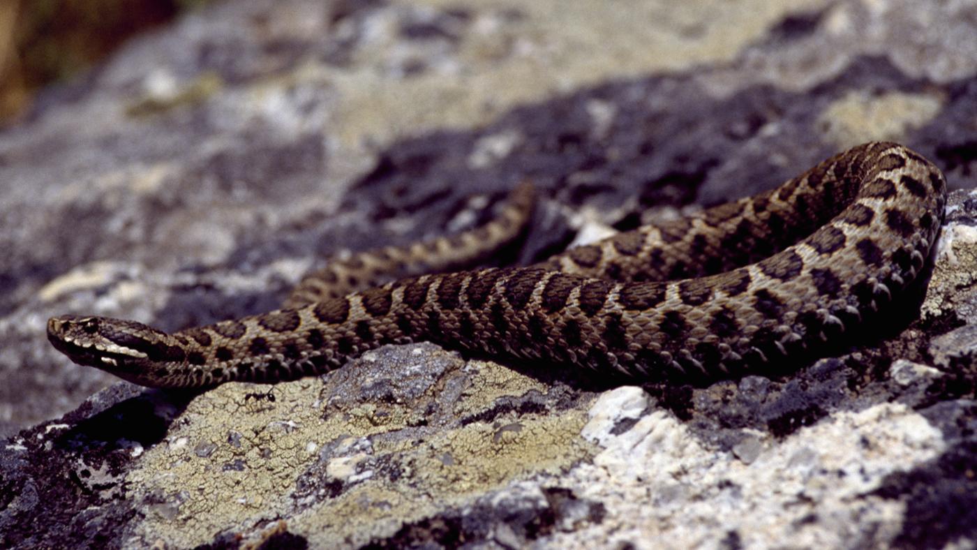 poisonous-snakes-italy