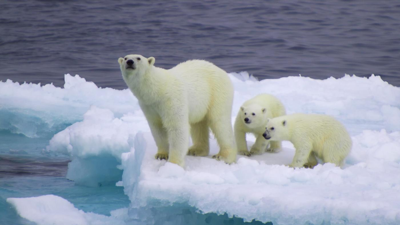 polar-bear-s-ecological-niche