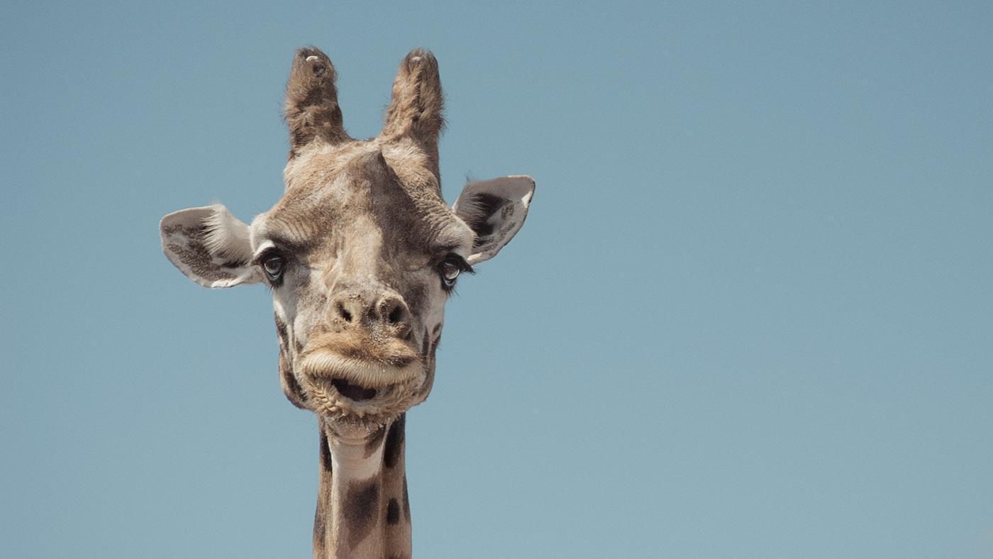 pygmy-giraffe