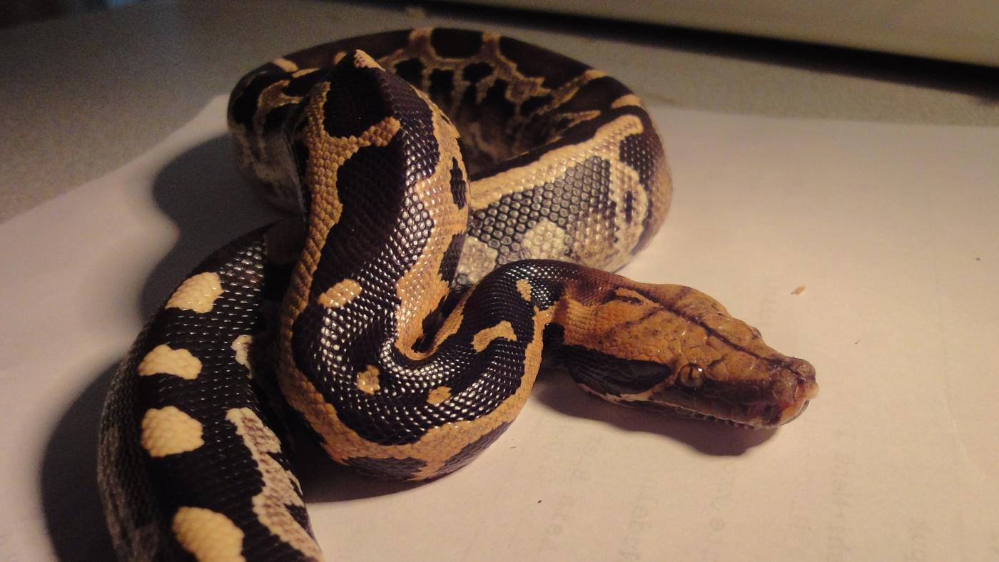 pythons-eat-food