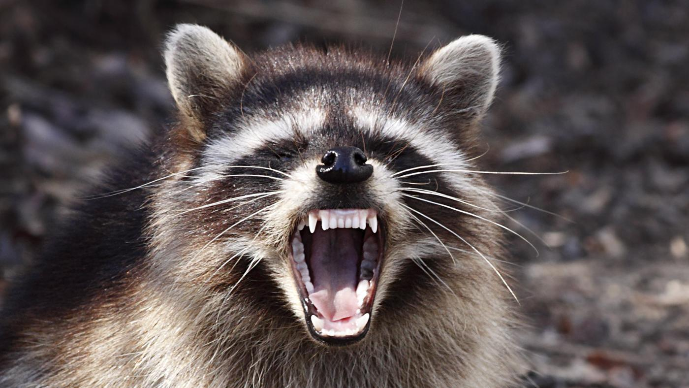 raccoons-protect-themselves