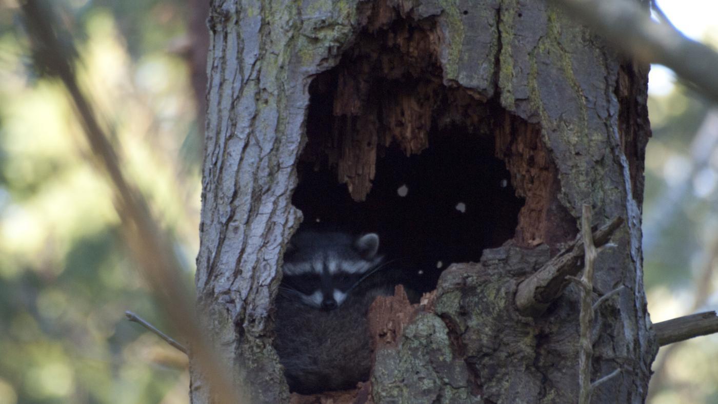 raccoons-sleep