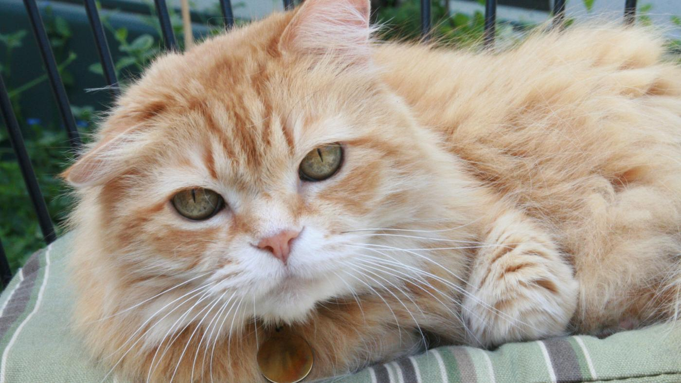 rare-female-orange-tabby-cats