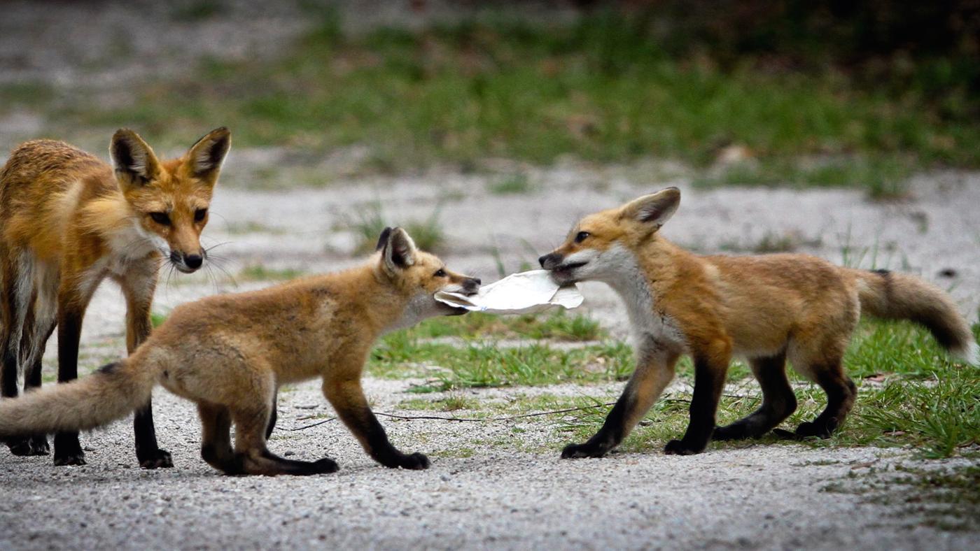 red-fox-eat