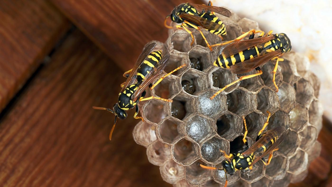 remove-paper-wasp-nest