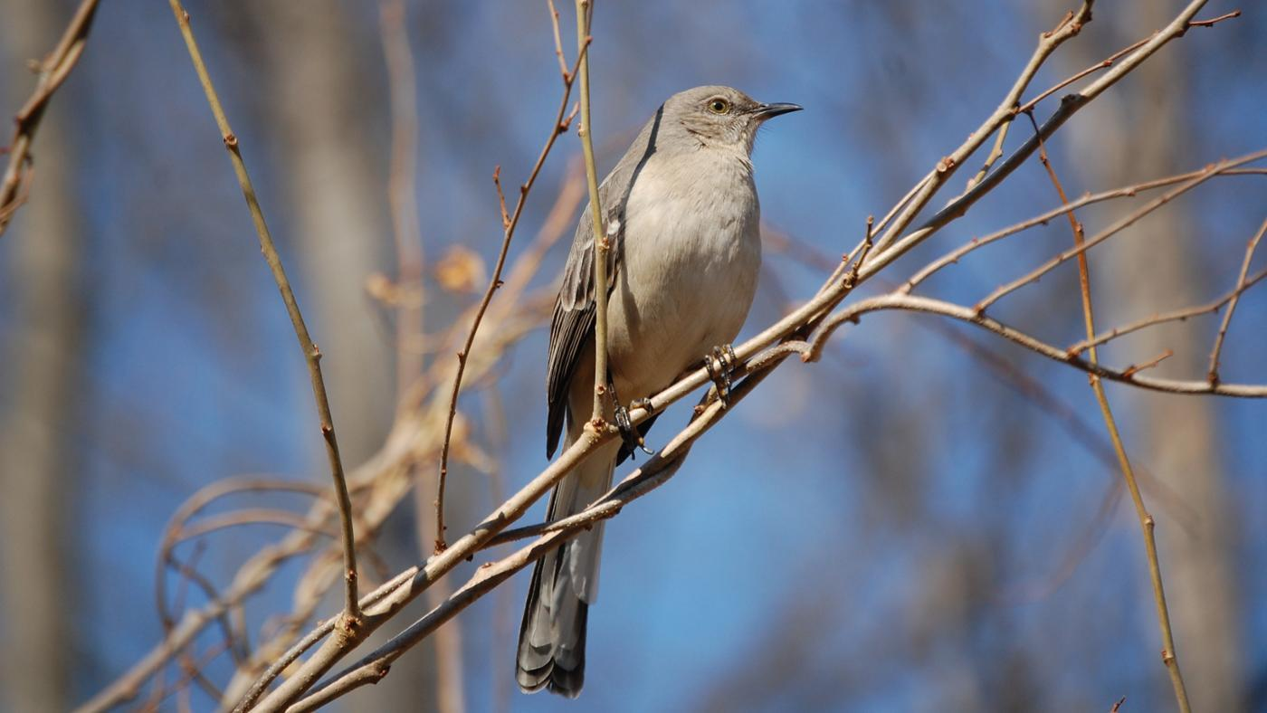 rid-mockingbirds