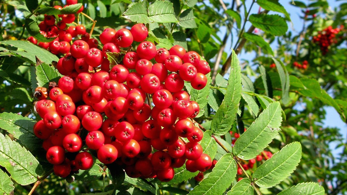 rowan-tree-berries-poisonous