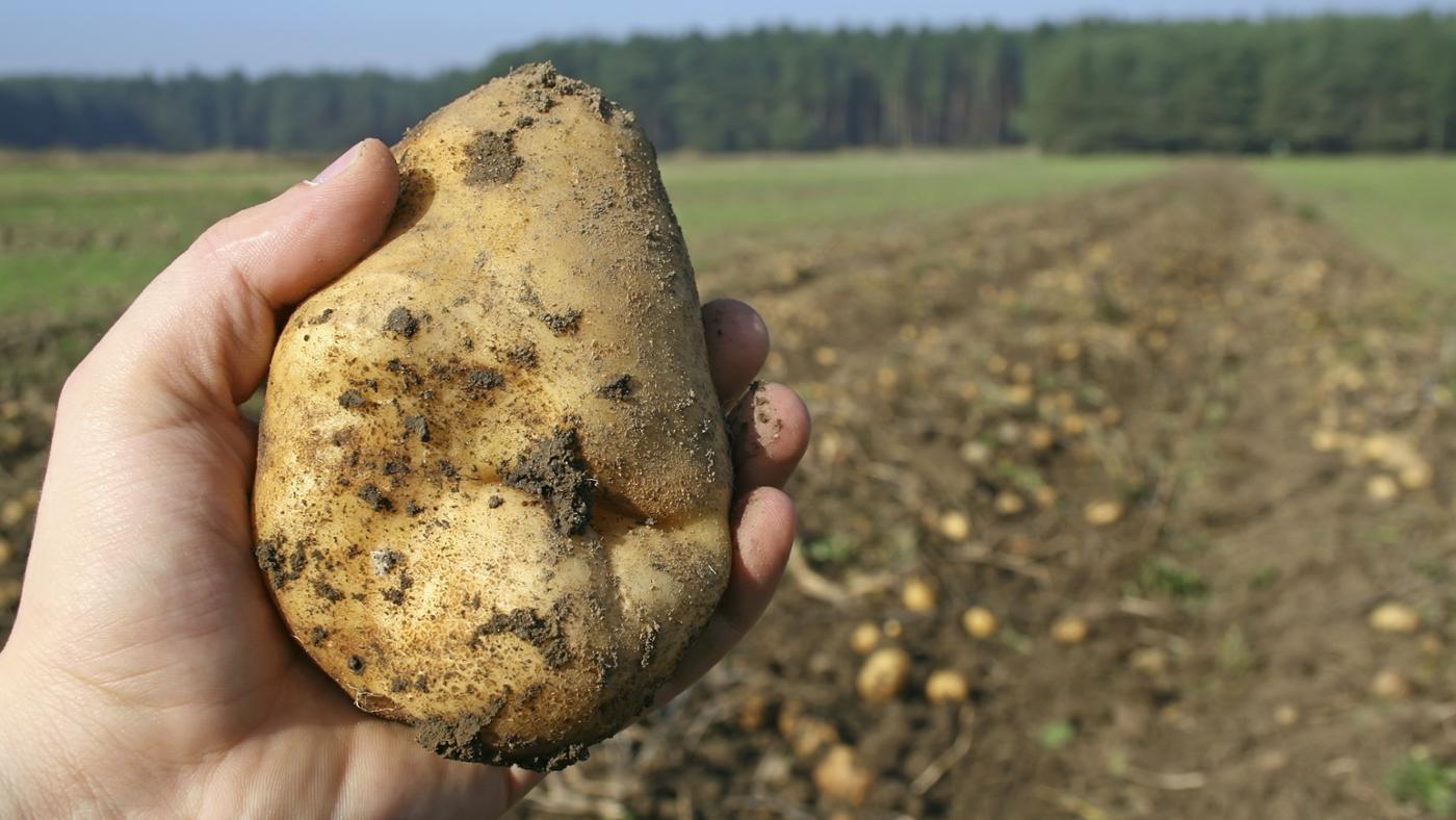scientific-name-potato
