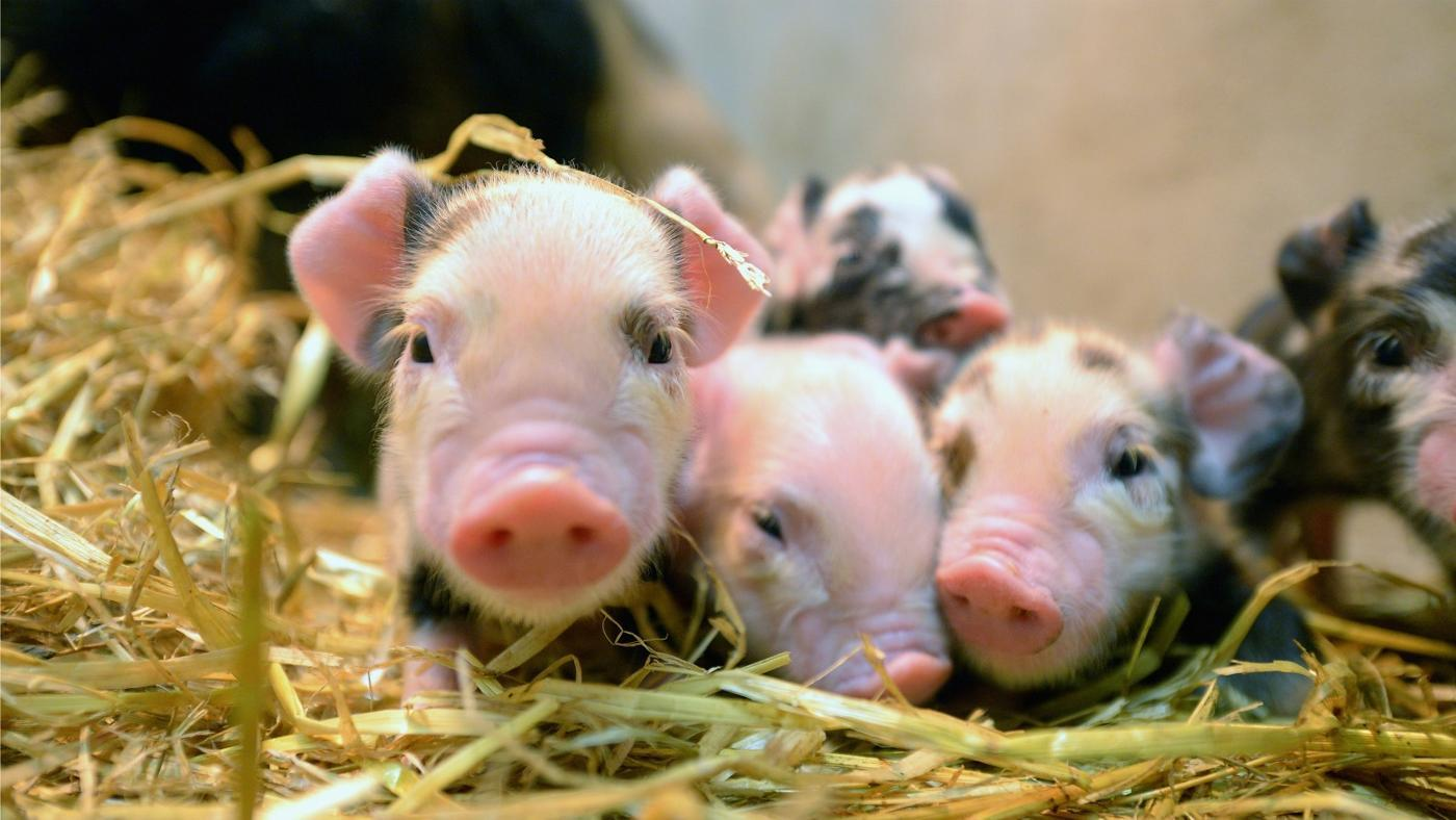 similarities-between-fetal-pig-s-anatomy-human-s-anatomy