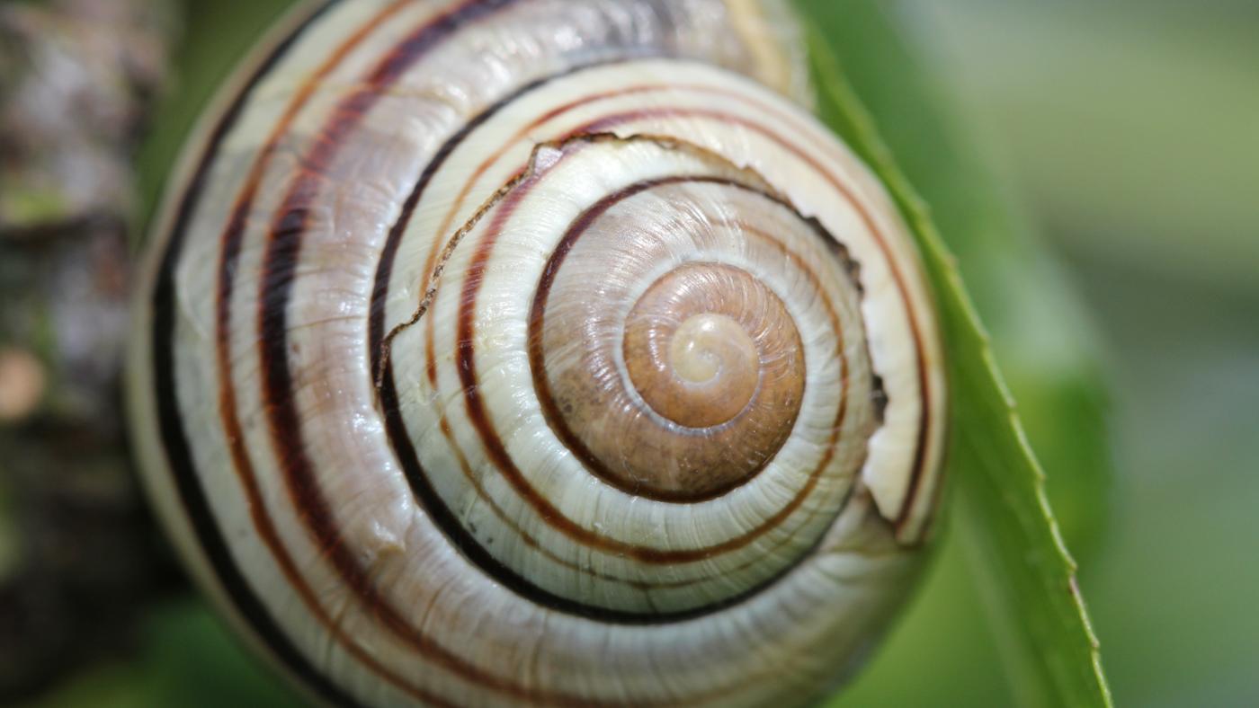 snail-shells-grow