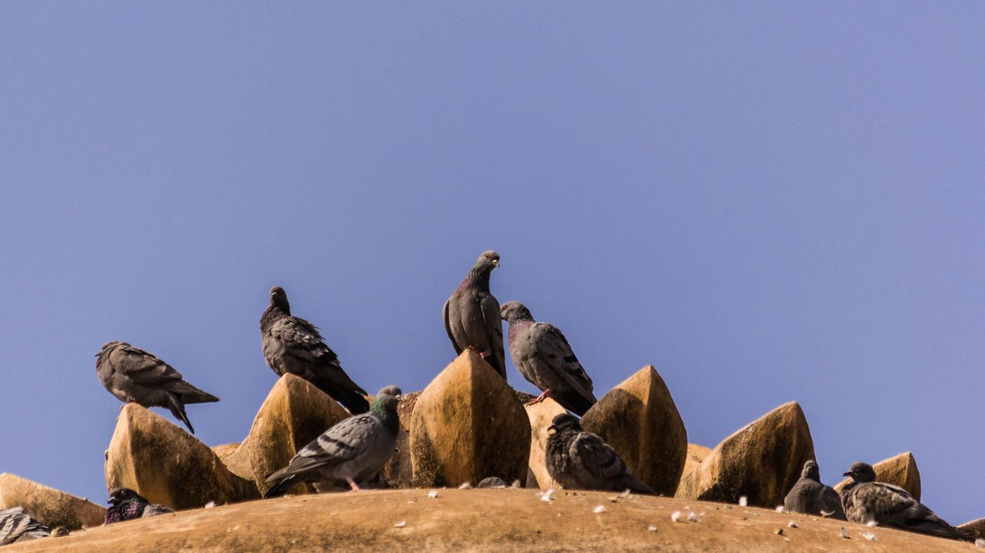 sound-pigeons-make