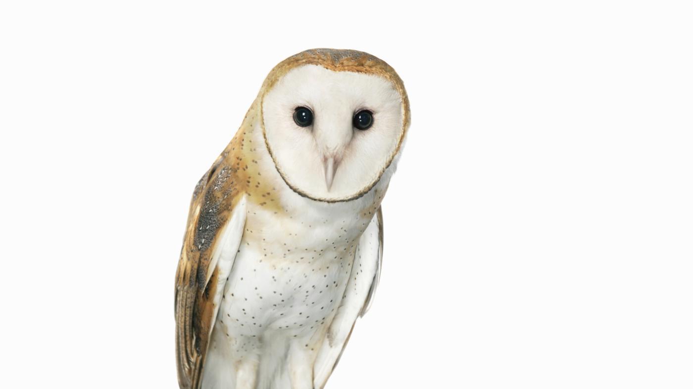 spiritual-meaning-white-owl