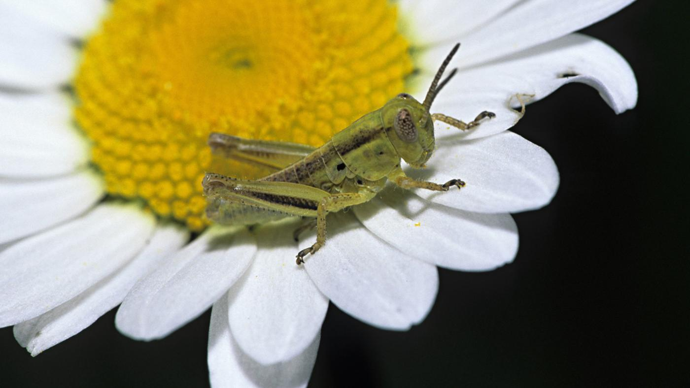 stages-life-cycle-grasshopper