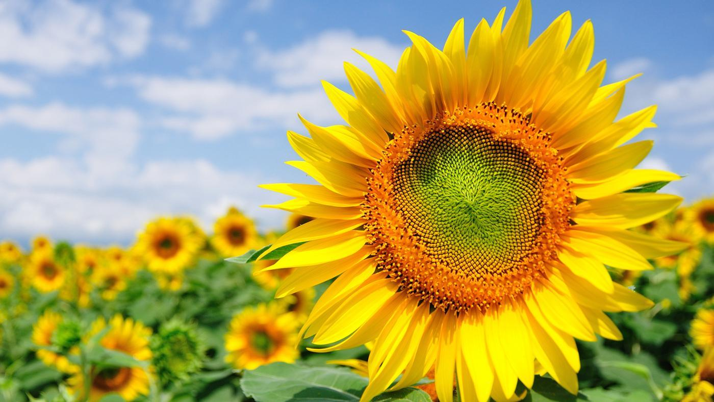 sunflowers-represent